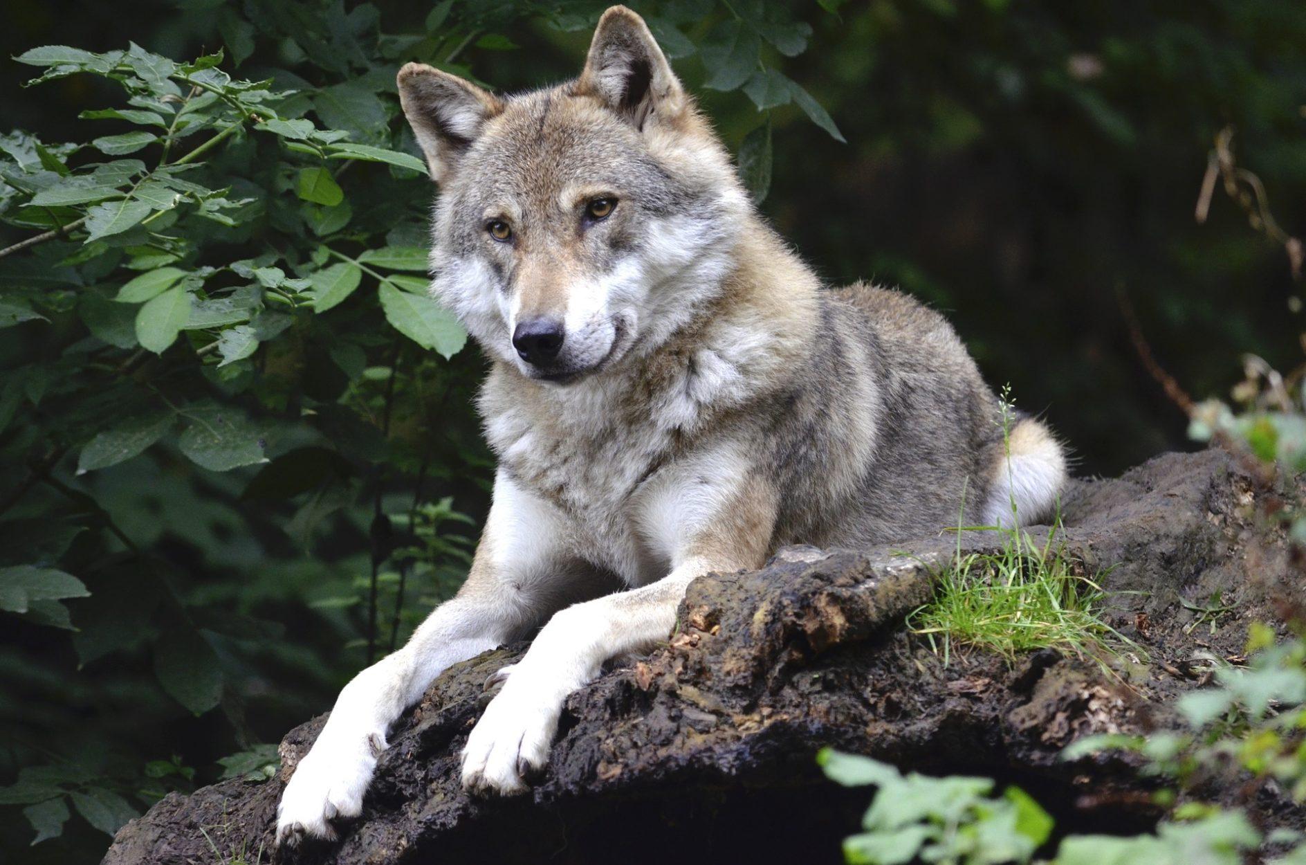 Direct from Yamnuska Wolfdog Sanctuary on Where Rockies